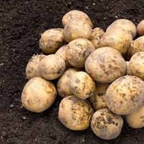 馬鈴薯(ジャガイモ)